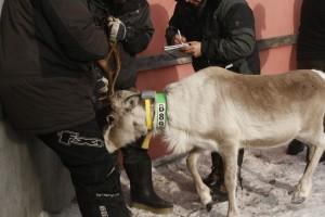 Skarin_reindeer_1