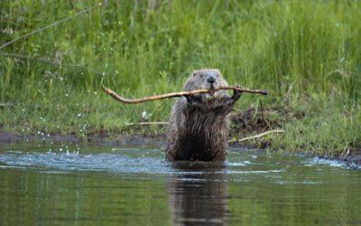 PhD position: Behavioral Ecology – Eurasian Beaver