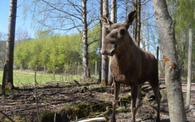 PhD opportunity: Moose in commercial forestry landscapes