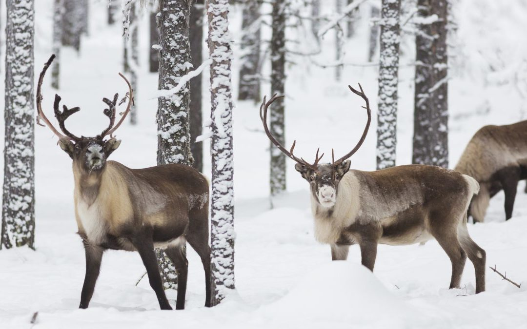 PhD position: Feeding reindeer for future free-range functionality, SLU, Sweden